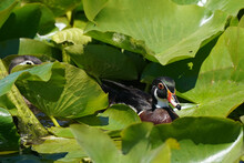 Wood Duck Mated Pair. All Chicks Died And They Are On Their Own Again. Swimming In Marsh And Telling Each Other Off