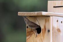 House Wren, Having Killed Chickadee Chicks, Takes Over Nesting Box To Start Their Own Nest.