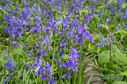 Obraz na płótnie Close up of beautiful bluebell flowers in the woods in Kent, England