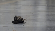 Body Of A Dead Black Bird Lying In The Ground At The Street In The Sidewalk. Closeup Of Claws.