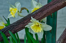 Selective Focus Shot Of White Daffodils With A Yellow Center