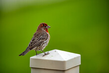 An Adult Male House Finch On A Fence Post