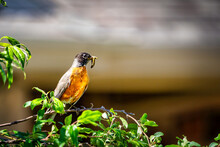 An American Robin With A Worm Or Caterpillar Perched On A Tree Limb