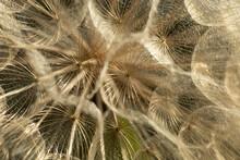 Salsify Seeds