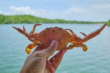 Close-up Photo Of A Fresh Sea Crab In The Hand Of A Person Holding It, A Food Marine Animal. Lives In Mangrove Forests With A Rich Ecosystem Of Tropical Wetland Environments.