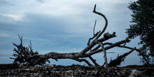 Closeup Of An Uprooted Tree At A Shore Under A Cloudy Sky