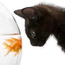 Black Kitten With Goldfish