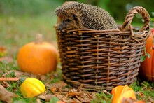 Hedgehog In A Basket With Vegetables. Forest Hedgehog.Pumpkins, Wicker Basket And Hedgehog In The Autumn Garden. Autumn Mood.Autumn Vegetables And Animals. Autumn Season