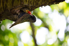 A Starling Feeds Young Starlings In A Nest In A Garden In Germany In Summer.