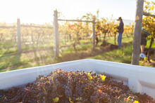 Red Wine Grapes In Grape Bin During Harvest In Vineyard With Pickers In Background