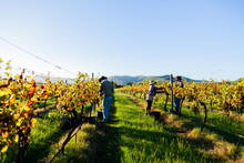 Casual Workers In Vineyard Picking Grapes In Morning Light