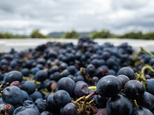 Close Up Of Red Wine Grapes In Grape Bin During Harvest In Vineyard On Overcast Day