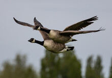 Pair Of Canada Geese Flying Close To Each Other In The Wilderness With A Blurred Background