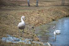 Bird White Animal Nature Water Goose