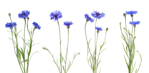 Set with beautiful blue cornflowers on white background. Banner design