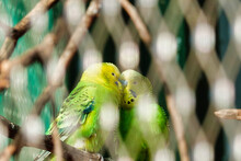 Selective Focus Of Two Budgerigars Perched On A Tree Branch In A Zoo With A Blurry Backgroun