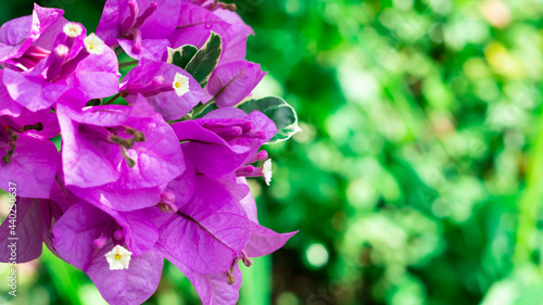 Canvas Print Bunch of paper flowers or Bougainvillaea blooming on a tree with a bokeh backgro