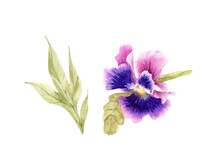 Watercolor Illustration Of Purple Pansy Flower On White Background, Hand Painted.