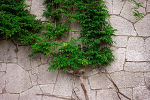Stone Wall Covered With Ivy. An Old Wall With A Plant. Climbing Plant.