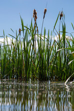 Bulrush Plants Reflected In The Water On The Shore Of A Lake. Blue Sky Background