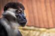 portret małpa