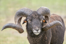 Male Black Ouessant Sheep With Big Horns
