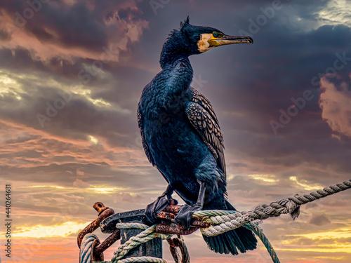 Late Cormorant Fototapeta
