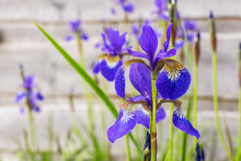 Iris Sibirica Also Known As Siberian Flag, Delicate Blue And Gold Flowers On Tall Stems Growing In A Garden.