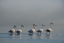 Wild African Birds. Group Birds Of White African Flamingos  Walking Around The Blue Lagoon On A Sunny Day