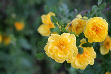 Yellow Rosebud On A Branch. A Bush Of Yellow Roses. Close-up. Background Image.