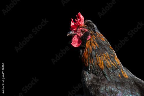 Slika na platnu Barnevelder cockerel rooster chicken