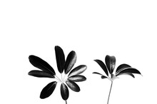 Creative Floral Layout Of Tropical Schefflera Leaves Spray Painted In Black On Plain White Background.