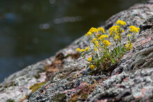 Beautiful Small Yellow Wildflowers Growing On Rocks