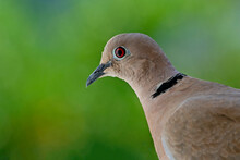 Close Up  Portrait Of A Dove On Green Blurred Background. Selective Focus. The Eurasian Collared Dove (Streptopelia Decaocto) Is A Dove Species Native To Europe And Asia