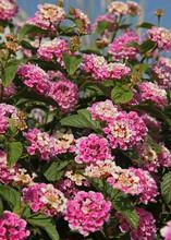 Fleurs De Lantana Roses