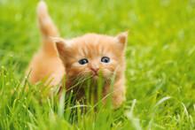Beautiful Red Blue-eyed Kitten Posing In Grass Outdoors. Tiny Cute Kitten Portrait.