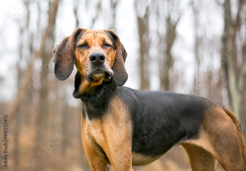 Wallpaper Mural A red and black Coonhound dog with its eyes closed and a funny expression on its