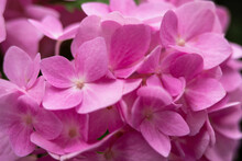 Close Up Of Pink Hydrangea Flower