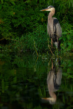 Great Blue Heron Perched In Water With Reflection
