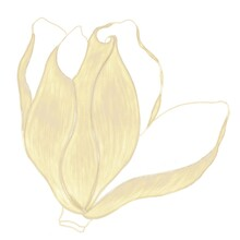 Opening Flower Bud, Magnolia Illustration In Gold Color With Hatching Isolated Element