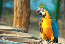 Blue And Yellow Macaw Standing In Front Of Plate Of Seed Before Eating Close Up View From Side At Gazipur Safari Park In Dhaka, Bangladesh
