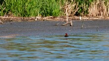Breeding Season - Cute Little Black Eurasian Coot (Fulica Atra) Chick With Funny Red-orange Head Swimming Alone On The Wavy Blue Water Surface Near The Lake Shore And Waiting Impatient For Her Mother.