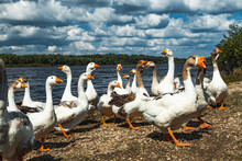 Village Geese Near The Water In Summer.
