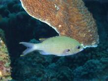 Green Chromis Damselfish On The Reef