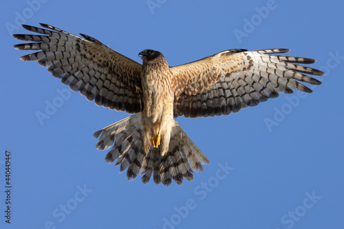 Extremely close view of a male  hen harrier (Northern harrier)  flying in beauti Fototapet