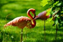 Flamingo In The Zoo
