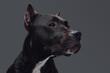 Leinwandbild Motiv Studio shot of bull terrier with dark brown fur