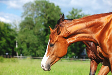 Chestnut Russian Don Horse Running Free On A Green Pasture