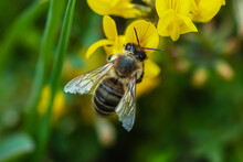 Close-up Hard-working Alpine Mountain Bee On A Yellow Lotus Corniculatus Or Birdsfoot Deervetch