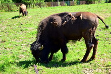 Bison Graze In The Meadow
